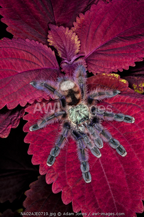 Chilean Rose Haired Tarantula, Grammostola rosea