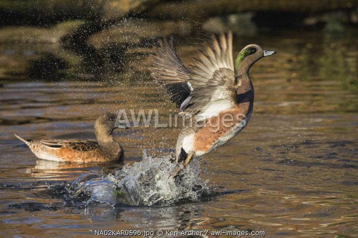American Wigeon flying