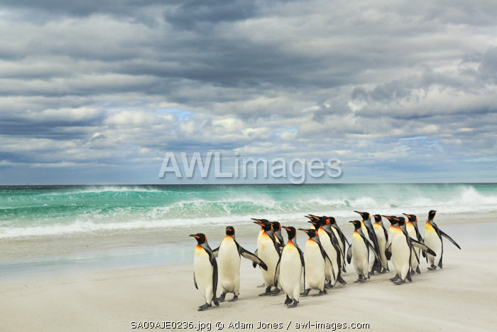 Group of King Penguins on beach, Volunteer Point, East Island, Falkland Islands, Aptenodytes patagonicus