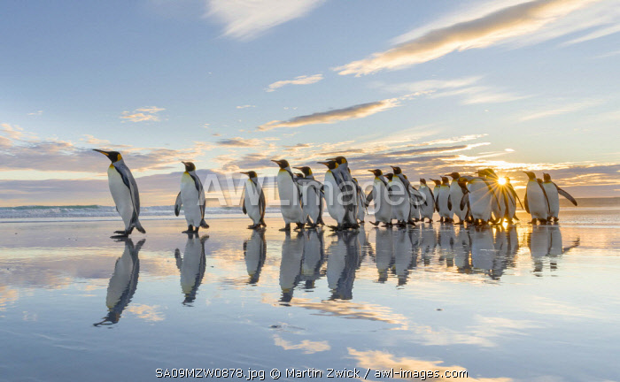 King Penguin (Aptenodytes patagonicus) on the Falkland Islands in the South Atlantic.