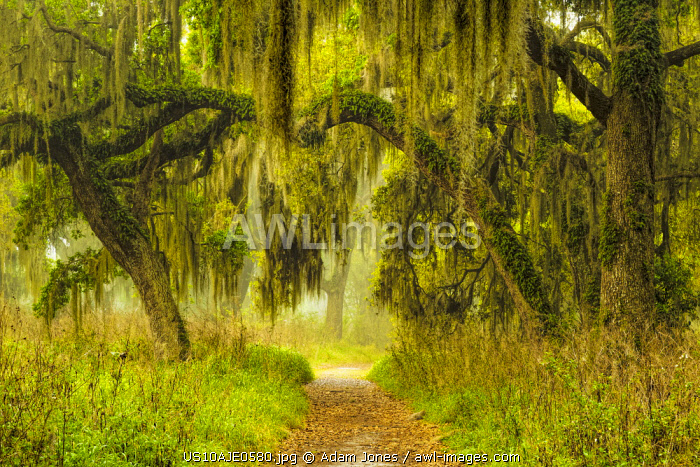 Footpath beneath live oaks draped in Spanish moss at sunrise, Circle B Bar Reserve, Polk County, near Lakeland, Florida.
