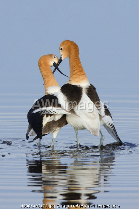 American Avocets, courtship dance