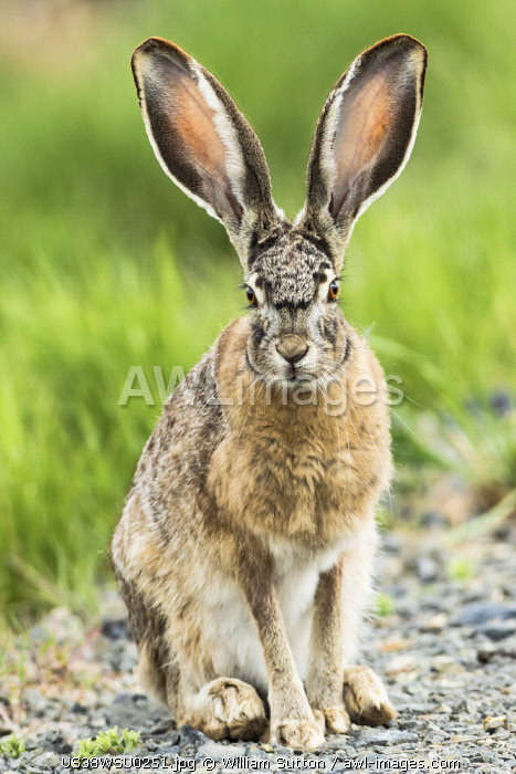 Black-tailed jackrabbit (Lepus californicus), Malheur National Wildlife Refuge, Oregon.