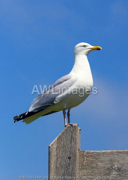 awl-images.com - England / A seagull in the Hastings Country Park Natural Reserve, Sussex, England