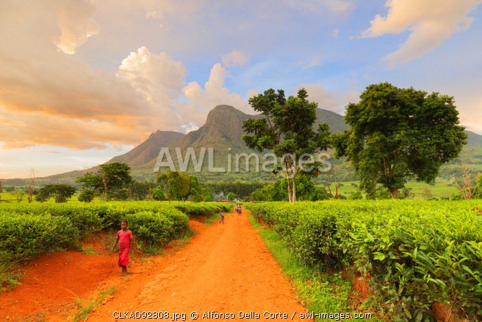 awl-images.com - Malawi / Africa, Malawi, Blantyre district, Cultivations of tea.