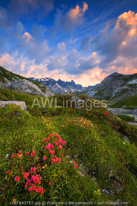 awl-images.com - Switzerland / Flowering of Rhododendrons at sunrise. Unterer Segnesboden, Flims, District of Imboden, Canton of Grisons, Switzerland, Europe