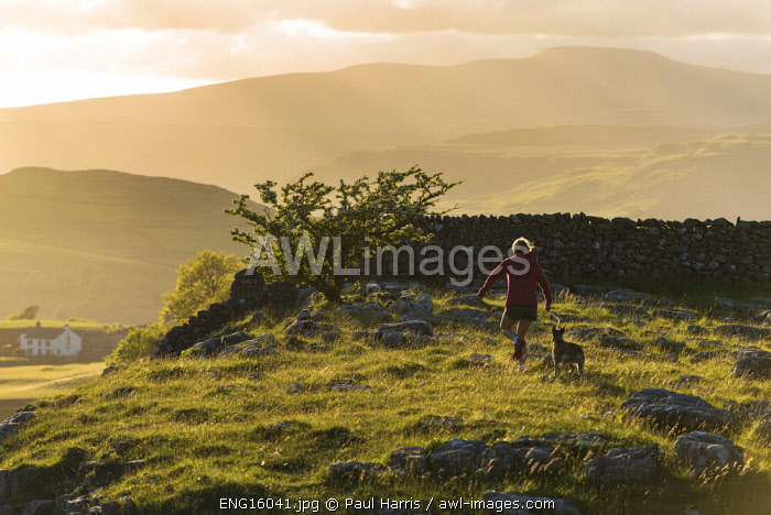 awl-images.com - England / England, Yorkshire Dales, Winskill, Walking dog on limestone pavement in early evening light (MR)