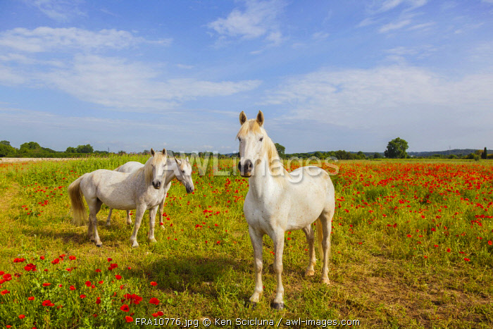 France, Occitane, Gallargues Le Montueux. Camargue horses along the camino di Santiago in the region of Gallargues le Montueux.