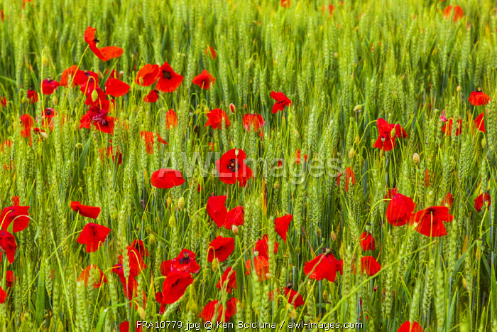 France, Languedoc Roussillon, Lodeve Region. A filed of poppies on the Via Tolosana or GR653 which departs in Arles to reach Col du Somport leading to the Via Aragones and eventually meeting the famed Camino Frances on the way to Santiago de Compostela.