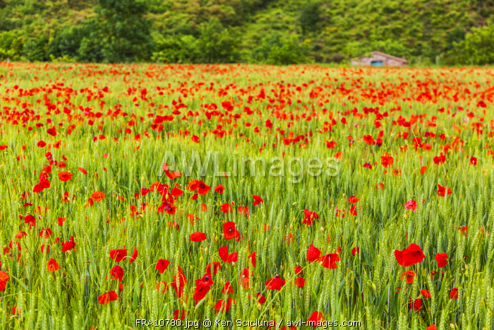 France, Languedoc Roussillon, Lodeve Region. A filed of poppies with a traditional Rustic house in the background on the Via Tolosana or GR653 which departs in Arles to reach Col du Somport leading to the Via Aragones and eventually meeting the famed Camino Frances on the way to Santiago de Compostela.