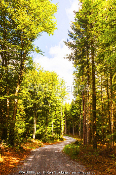 France, Occitanie, La Salvetat sur Agout region. Trees in the forest of the region of La Salvetat sur Agout in Occitanie on the trail of the Via Tolosana towards Santiago de Compostela.