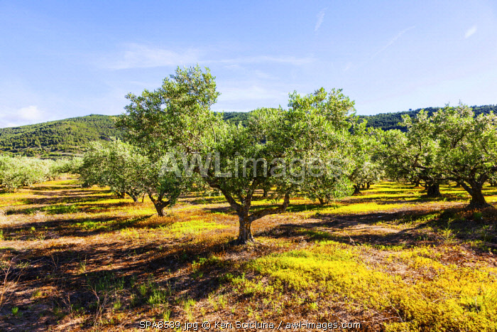Spain, Navarre, Cirauqui. Pictoresque environs with olive trees on the Camino Frances just after Puenta La Reina where the several routes meet to continue towards Santaigo de Compostela towards the village of Cirauqui