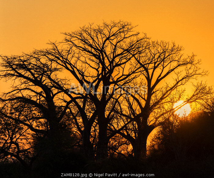 awl-images.com - Zambia / Zambia, Lower Zambezi National Park, Lusaka Province. Sunset through the silhouette of Baobab trees.