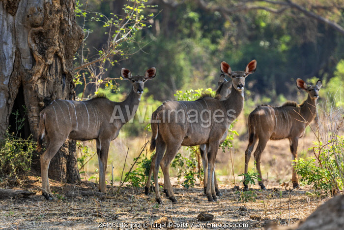 awl-images.com - Zambia / Zambia, Lower Zambezi National Park, Lusaka Province. Female Greater Kudu stand in the shade of a large tree during the heat of day.
