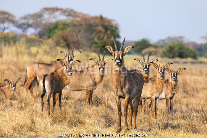 awl-images.com - Zambia / Zambia, Kafue National Park, Busanga Plains. A herd of Roan antelope.