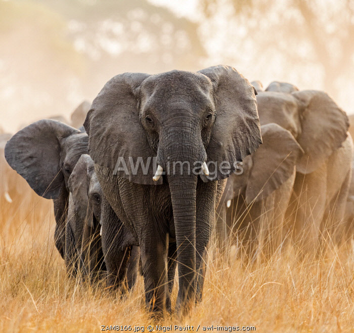 Zambia, Kafue National Park, Busanga Plains.  A herd of elephants moving through dry, dusty terrain in the late afternoon