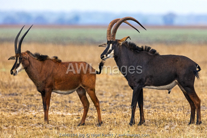 awl-images.com - Zambia / Zambia, Kafue National Park, Busanga Plains. A male and female Sable Antelope.