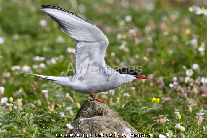 Artic tern on the cliff, Isle of Lunga, Treshnish Isles, Scotland, Europe