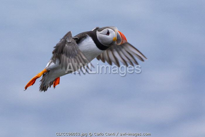 flying Puffin, Isle of Lunga, Treshnish Isles, Scotland, Europe