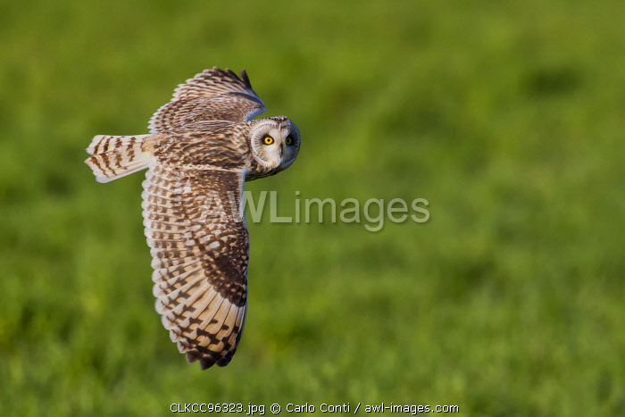 Short-eared owl in flight on the fields, Parma province, Emilia Romagna district, Italy, Europe