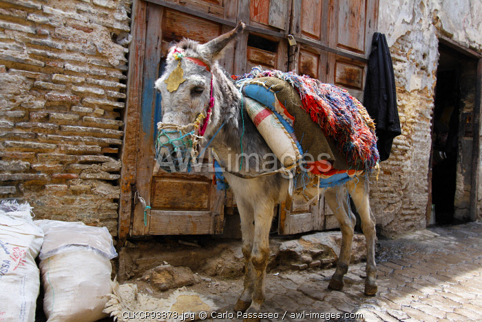 North Africa, Morocco, Fez. Donkey
