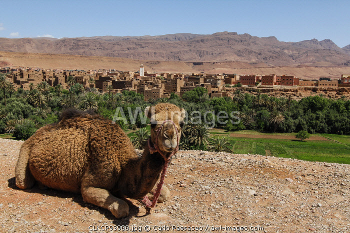 North Africa, Morocco, Dades Valley. Camel in the desert.