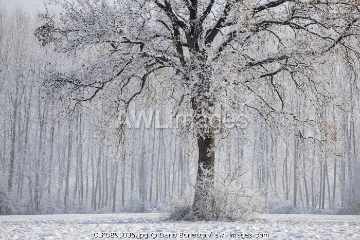 Plain Piedmont,Turin district, Piedmont, Italy.Winter tree in the Piedmont plain