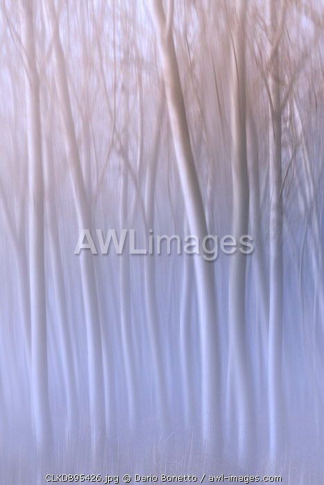Plain Piedmont,Turin district, Piedmont, Italy.Abstract poplars in the piedmont plain
