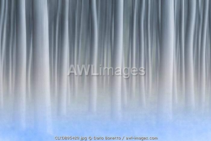 Plain Piedmont,Turin district, Piedmont, Italy.Abstract poplars in the piedmont plain
