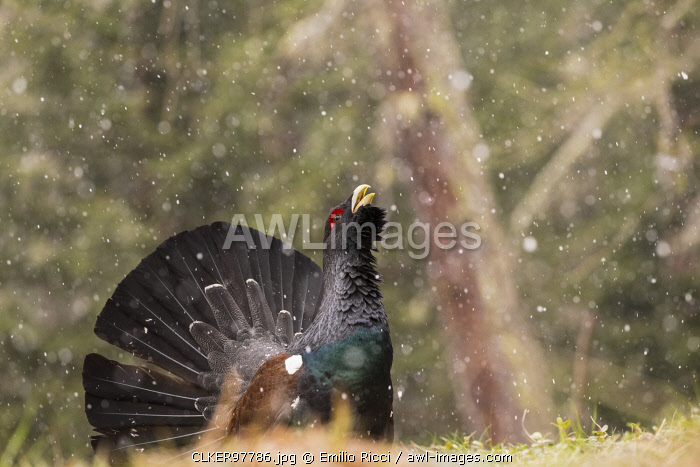 Western Capercaillie or Wood Grouse (Tetrao urogallus) male displaying, Stelvio National Park, Lombardy, Italy