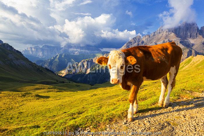 Grazing cow at San Nicolò Pass, Fassa Valley, Trentino, Dolomites, Italy, Europe.