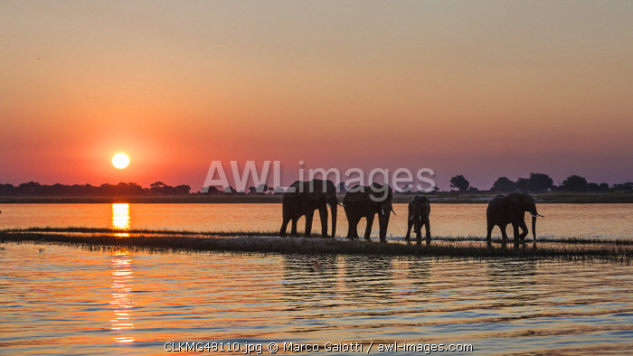 A herd of elephants walking along Chobe river shores, along the border between Namibia and Botswana, Africa