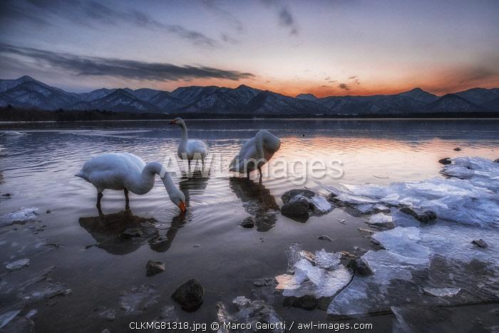 Whooper swan, Kotan onsen, east coast of Lake Kussharo, Eastern Hokkaido, Japan