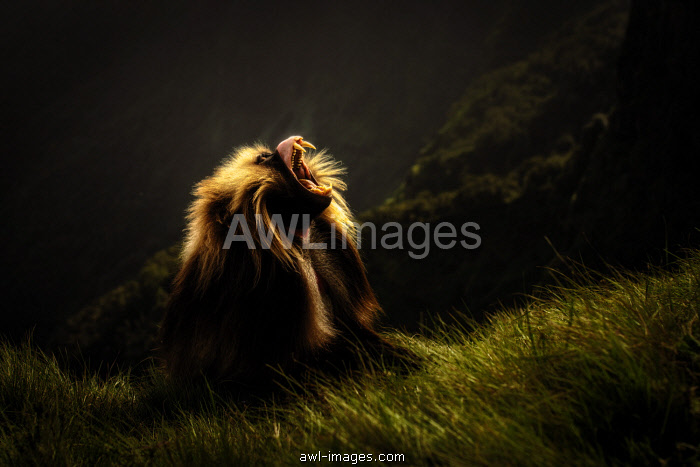 Gelada baboon silhouette in Simien Mountains National Park, Northern Ethiopia