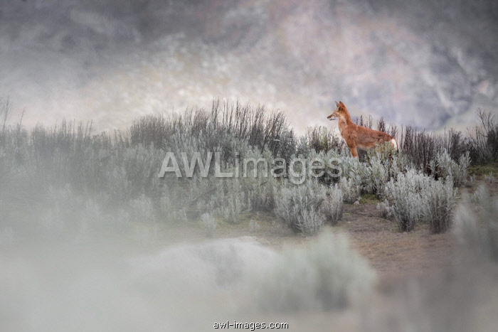 Simien wolf (canis simensis) in Bale mountains national park, Ethiopia