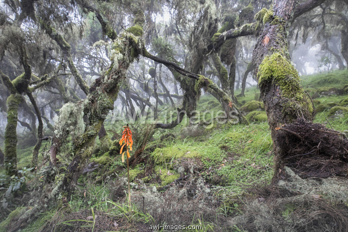 Harenna forest, Bale mountains national park, Ethiopia