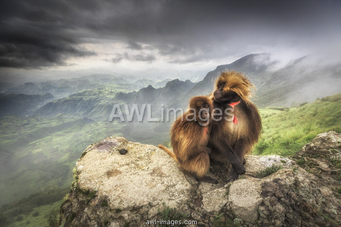 a pair of Gelada baboon in Simien Mountains National Park, Northern Ethiopia