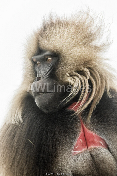 Portrait of Gelada baboon in Simien Mountains National Park, Northern Ethiopia