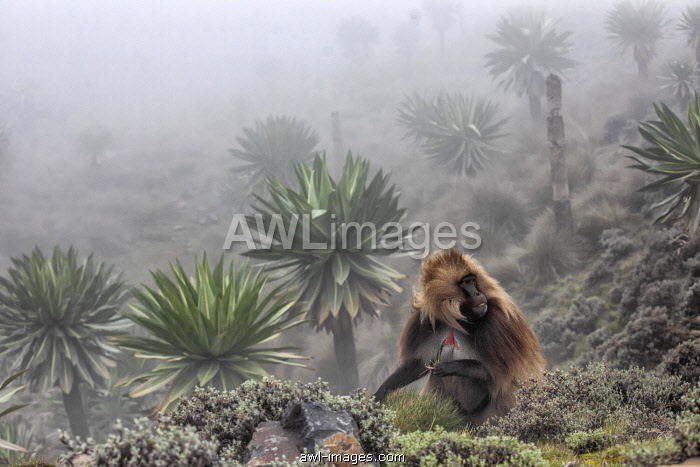 Gelada baboon and giant lobelia in Simien Mountains National Park, Northern Ethiopia
