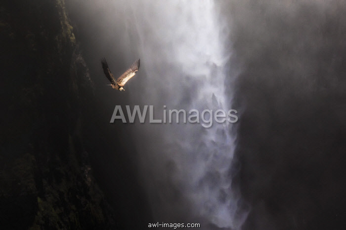 Vulture flying above Jinbar waterfalls (Jin Bahir Falls), Simien mountains national park, Ethiopia