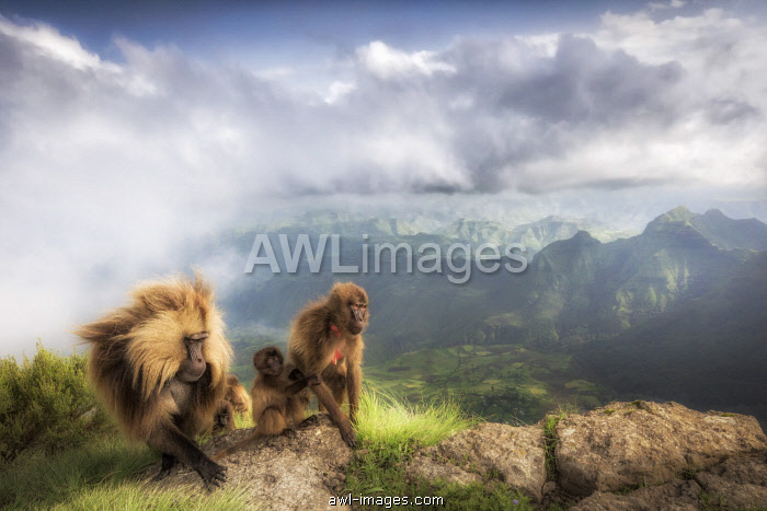 Gelada baboon family in Simien Mountains National Park, Northern Ethiopia