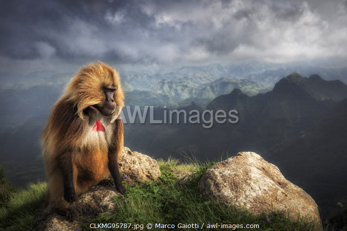 Gelada baboon in Simien Mountains National Park, Northern Ethiopia
