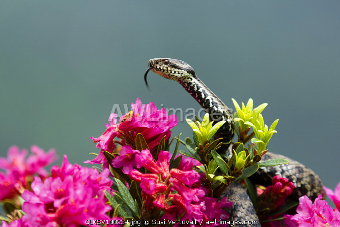 Park Orobie Valtellina, Lombardy, Italy. Vipera berus