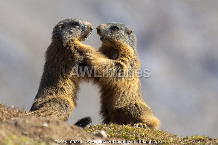 Stelvio National Park, Lombardy, Italy. Alpine marmot marmota marmota