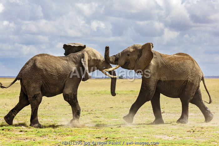 Kenya, Amboseli, Kajiado County.  Two bull elephants spar for dominance.