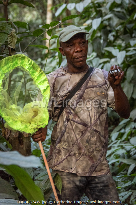 Africa, Togo, Kloto, Kpalimè area. Forest walk with a butterfly catcher