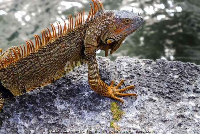 USA, Miami, Florida. Iguanas living in gardens of Viscaya.