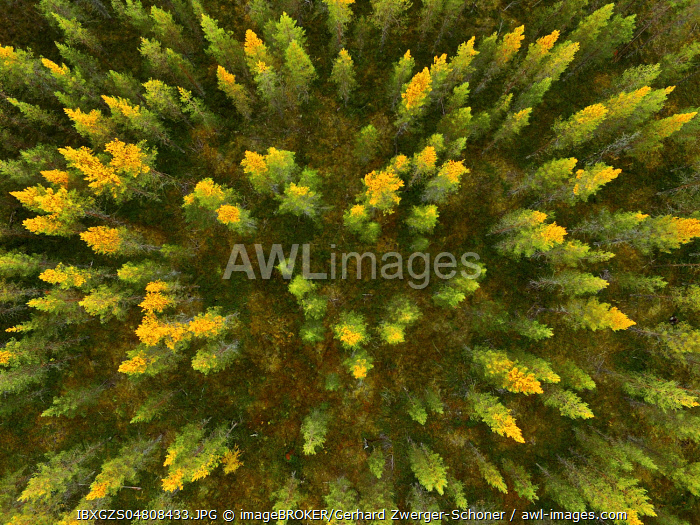 Drone shot, Larches (Larix) with autumnal yellow coloration in wetland, Sodankylä, Lappi, Finland, Europe