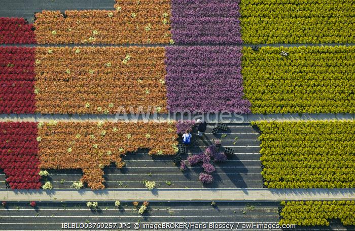 Aerial view, flower farming, gardeners harvesting pot plants, North Rhine-Westphalia, Germany, Europe