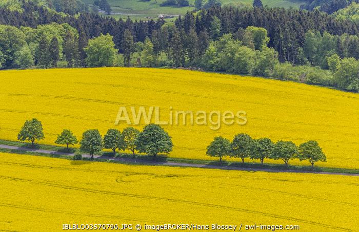 Aerial view, rape fields on a country road, near Breckerfeld, North Rhine-Westphalia, Germany, Europe